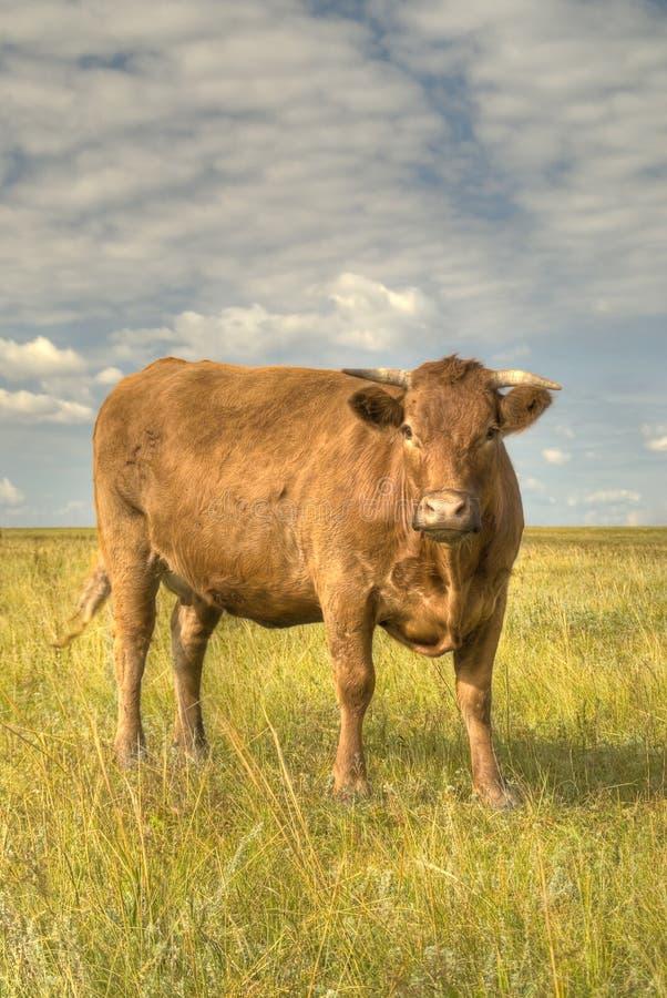 Vache à simmenthal images stock