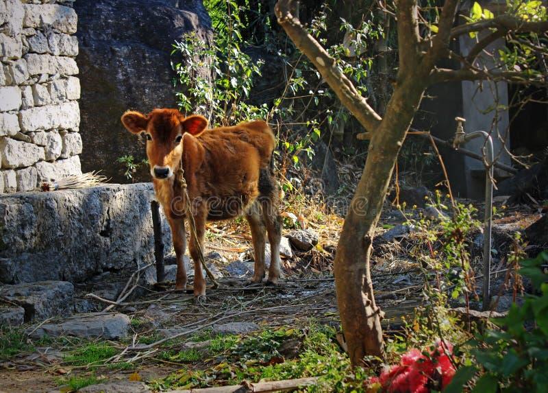 Vache à veau dans la tribu de l'Himalaya à distance photo libre de droits
