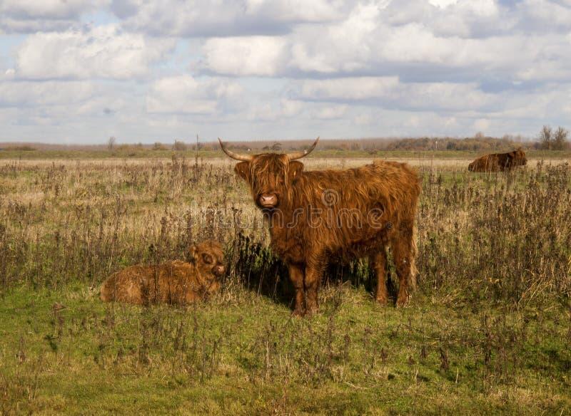 Vache écossaise à montagnard photos libres de droits