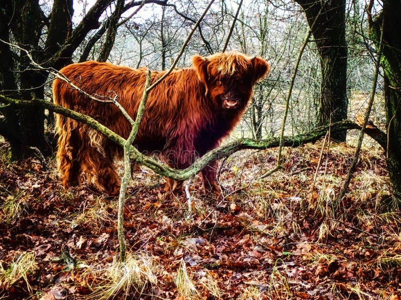 Vache écossaise à montagnard images stock