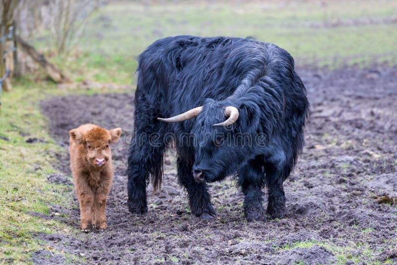 Vache écossaise à montagnarde de mère noire presque tenant le veau brun images stock