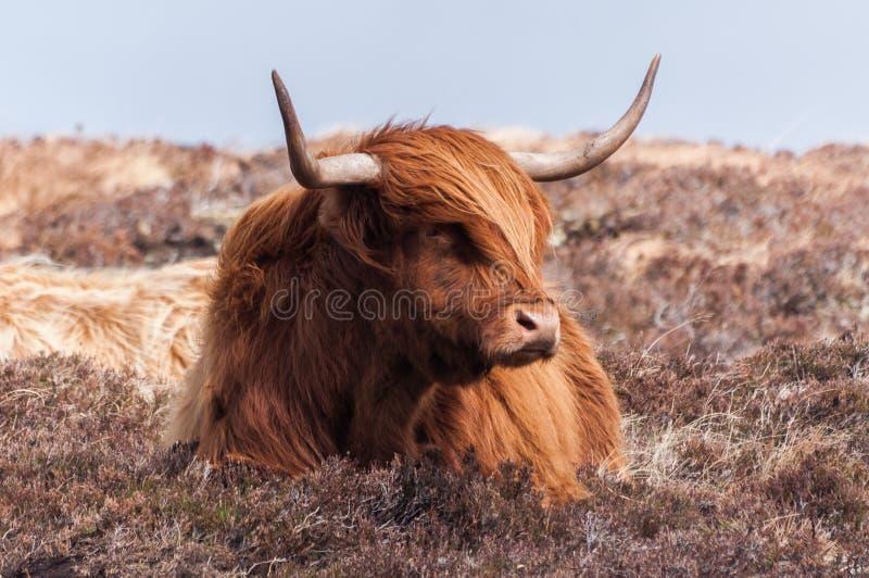 Vache écossaise photo libre de droits
