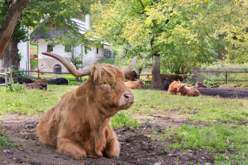 Vache écossaise d'une chevelure rouge à montagnard photos libres de droits