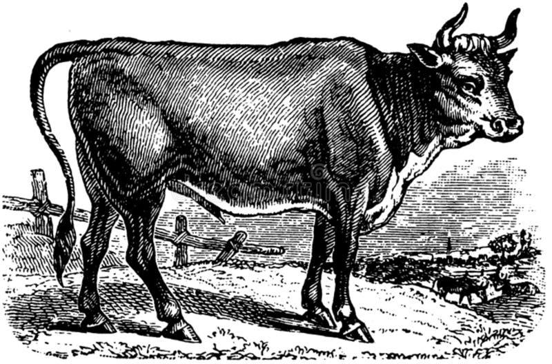 Vache-037 Free Public Domain Cc0 Image