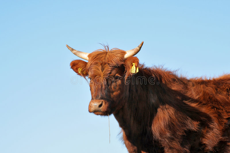 Vache photo stock