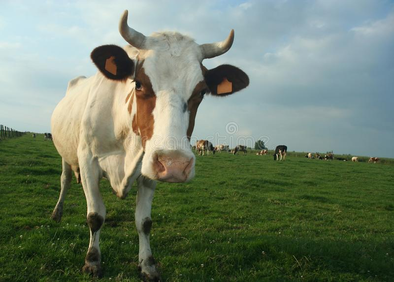 Vache Photo Gratuite
