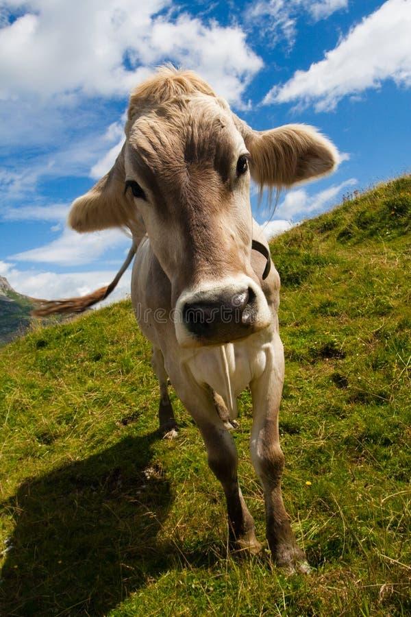 Vache alpestre sur le pré vert photographie stock
