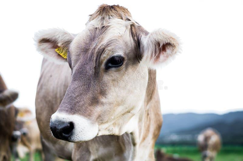 Vache au pâturage photographie stock libre de droits