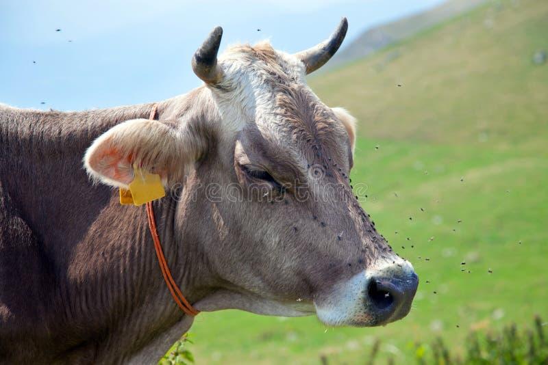 Vache avec des mouches images libres de droits