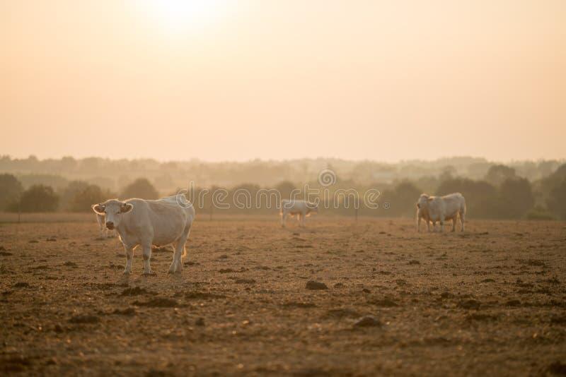Vache avec la lumière d'or photo libre de droits
