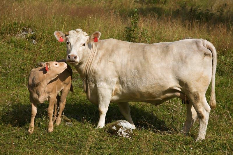 Vache avec le petit veau image stock