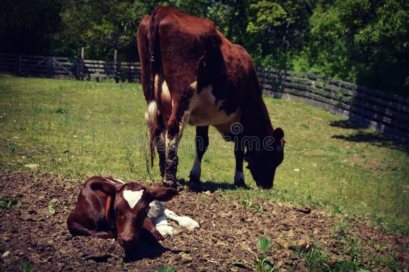Vache avec le veau image stock