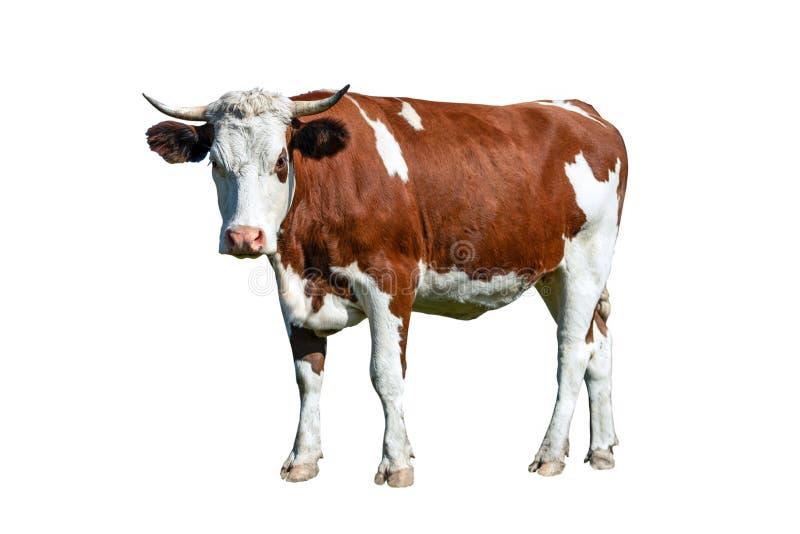 Vache blanche et brune à laiterie photos libres de droits