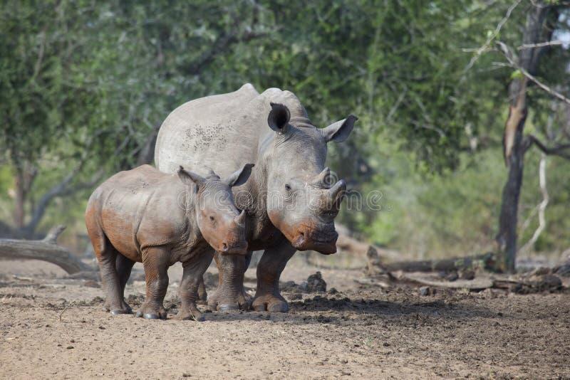 Vache blanche et veau à rhinocéros se tenant ensemble photographie stock libre de droits