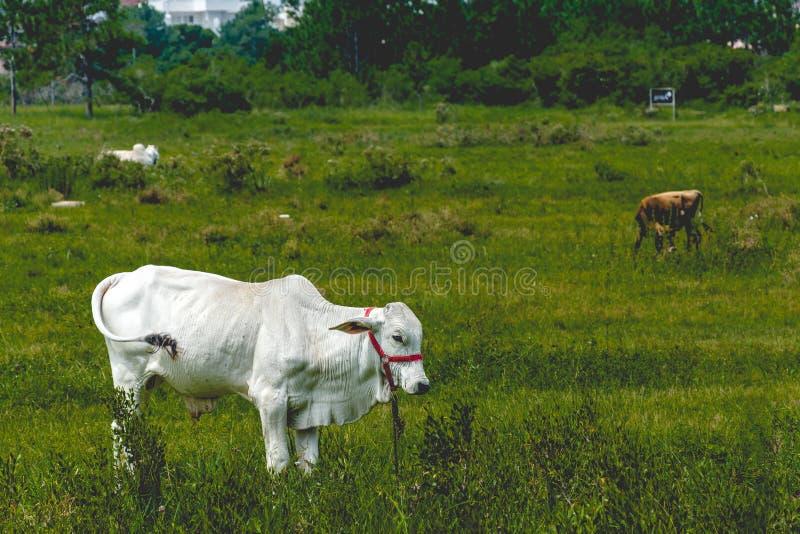 Vache blanche frôlant sur un champ d'herbe photo libre de droits