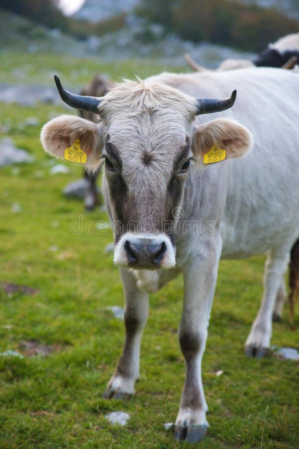 Vache blanche masculine simple à montagne photos stock