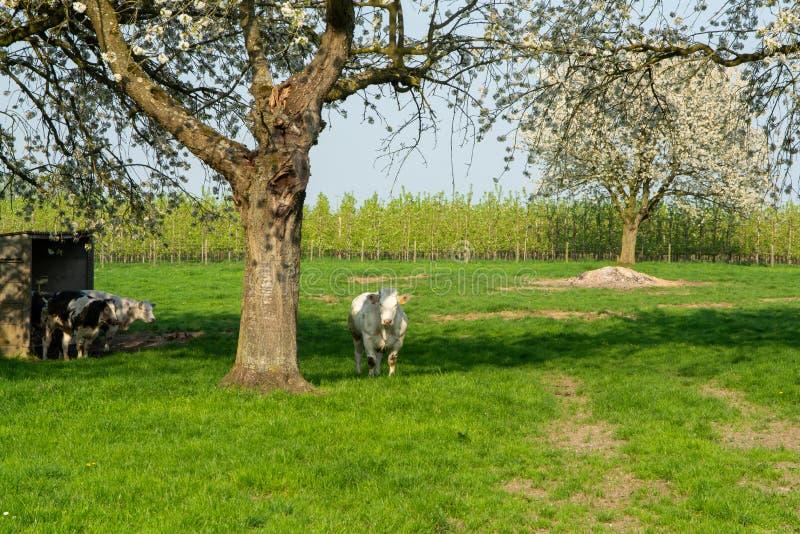 Vache bleue belge, cheptels bovins spéciaux très grands avec le maigre double-muscling à la ferme dans le printemps image libre de droits