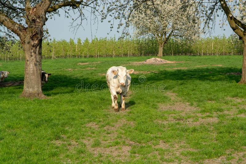 Vache bleue belge, cheptels bovins spéciaux très grands avec le maigre double-muscling à la ferme dans le printemps photographie stock