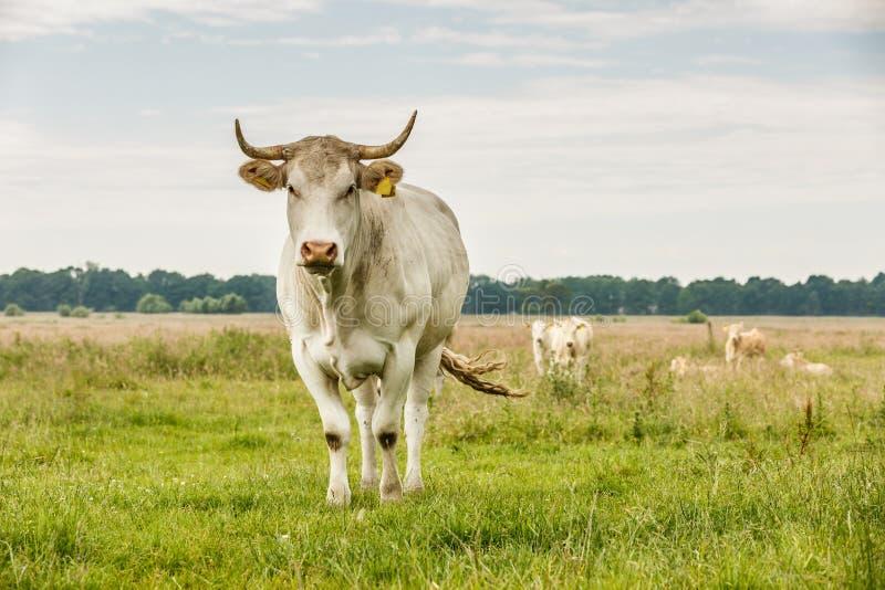 Vache blonde à l'Aquitaine de ` de d photographie stock libre de droits