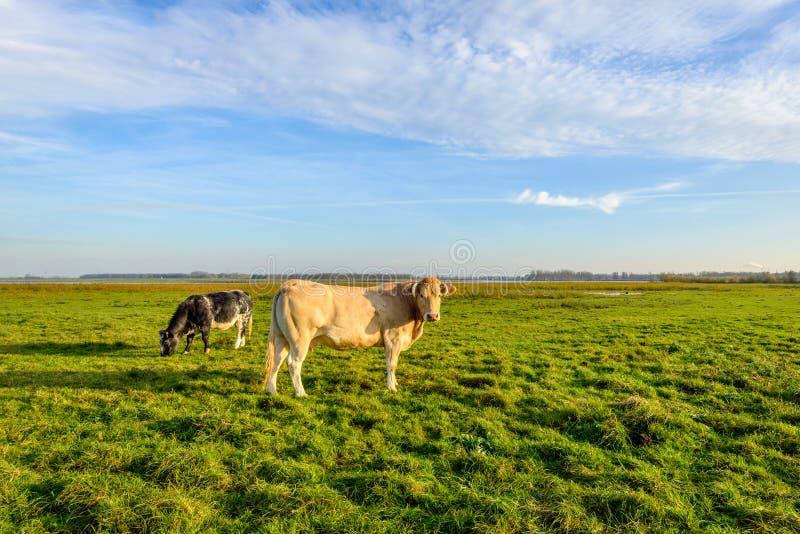 Vache brun clair avec des klaxons à la basse lumière du soleil de soirée images libres de droits