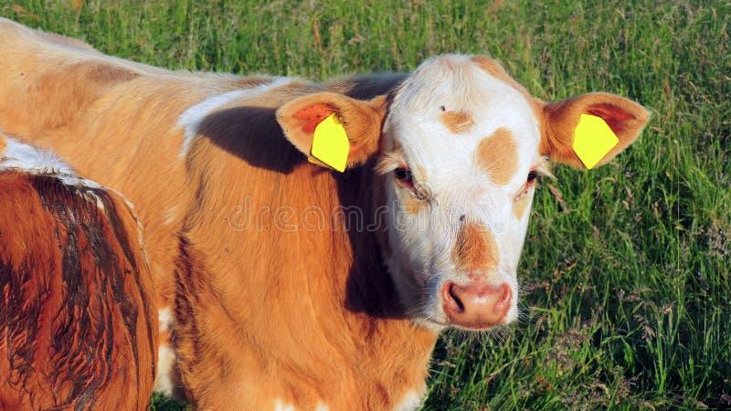 vache brune photos stock
