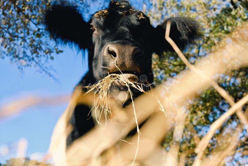 Vache ceinturée à Galloway mangeant le foin photographie stock libre de droits