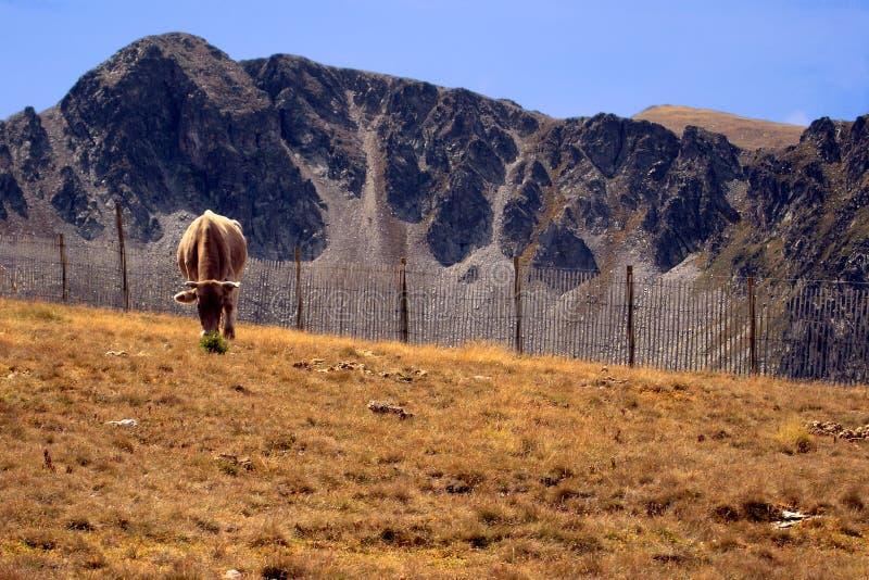Vache chez Pyrénées images stock