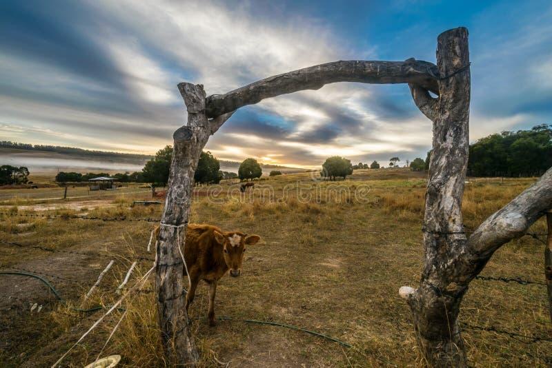 Vache curieuse pendant un timelapse de lever de soleil au boeuf t de gleneden images stock