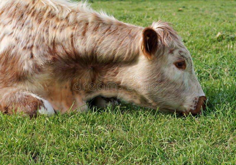 Vache découragée photos stock