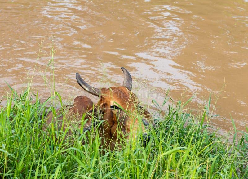 Vache dans l'eau sous l'herbe photo stock