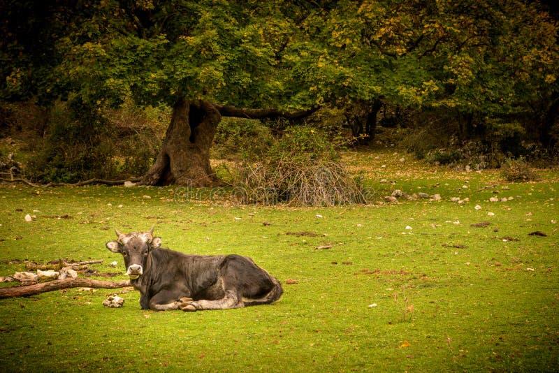 Vache dans l'herbe photographie stock libre de droits