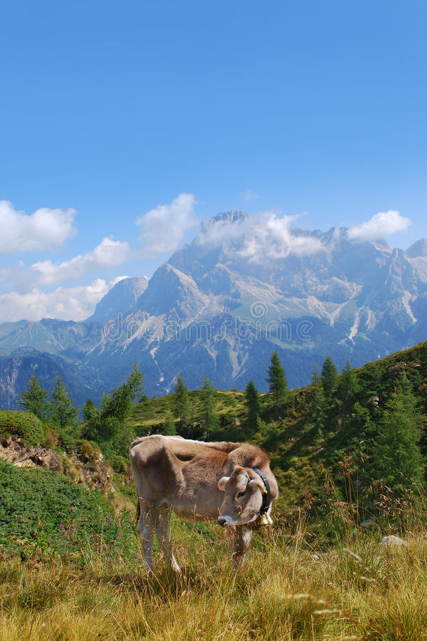 Vache dans la montagne images libres de droits