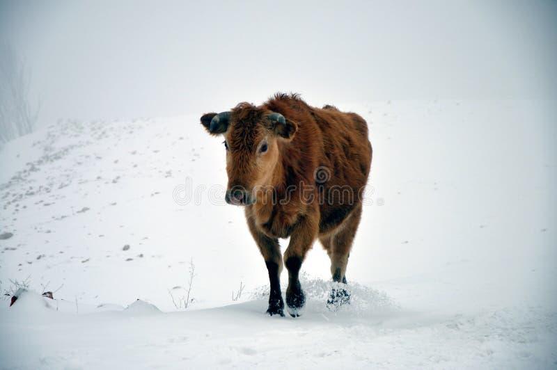 Vache dans la neige photographie stock