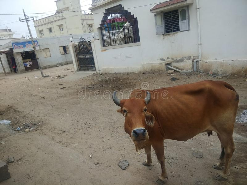Vache dans la rue indienne photos stock