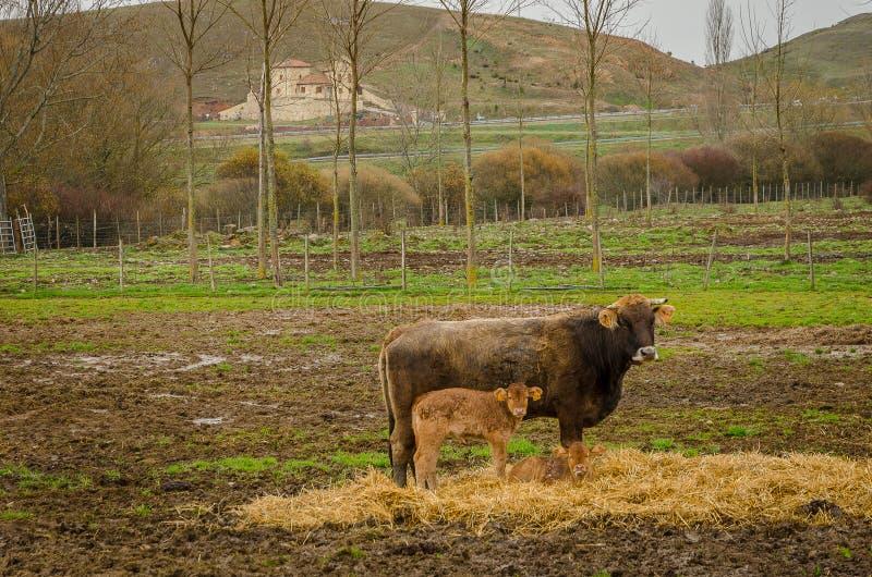 Vache dans le domaine en Barrio de Santa Mar?a Palencia images stock