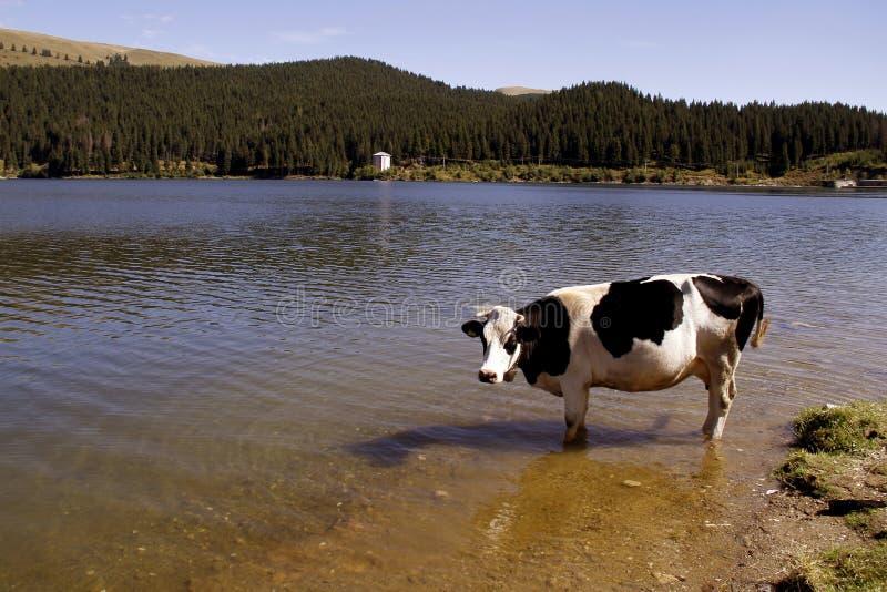 Vache dans le fleuve photographie stock libre de droits