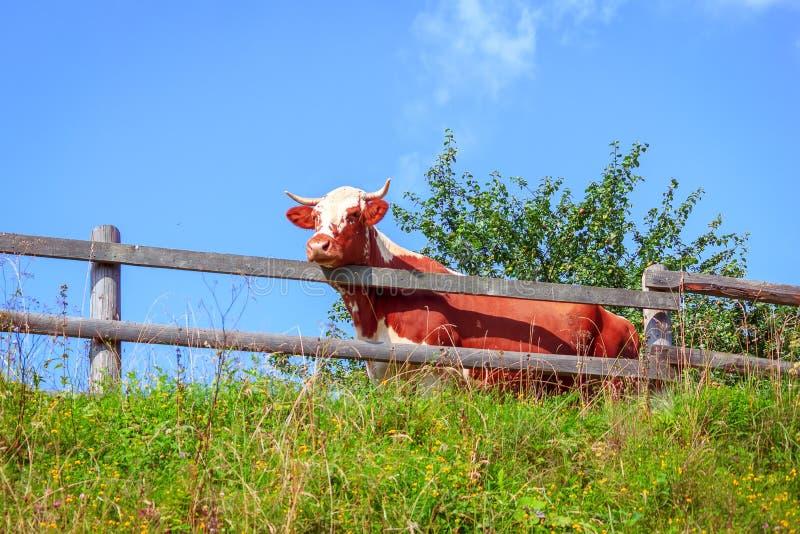 Vache dans le stylo images libres de droits