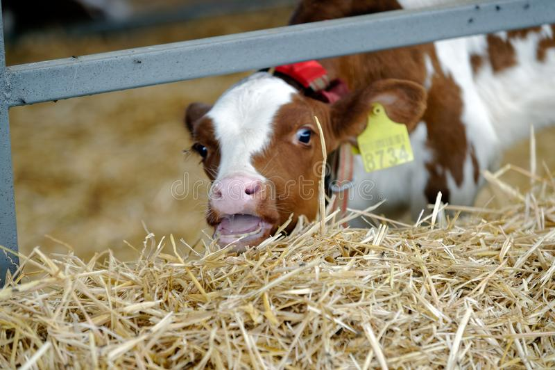 Vache dans une ferme Industrie d'agriculture images stock