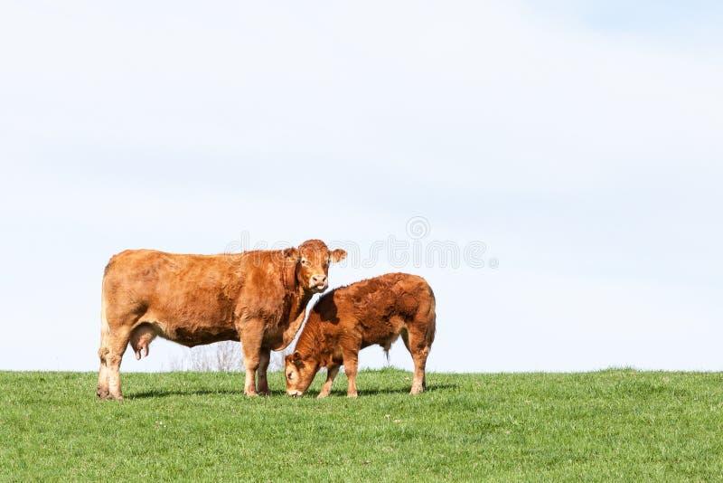Vache de boucherie de Brown Limousin et son veau de pâturage sur l'agai d'horizon photo libre de droits