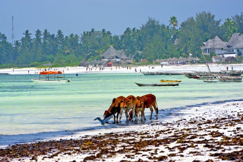 Vache de Zanzibar de plage d'algue photos libres de droits