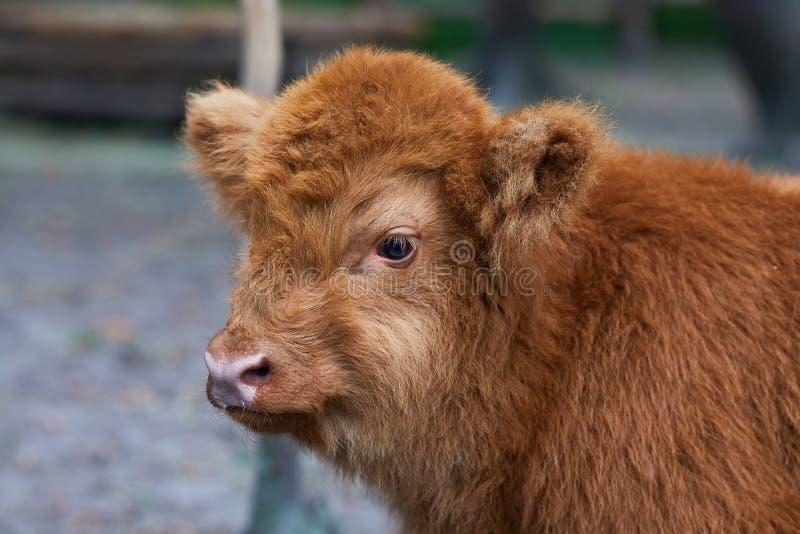 Vache des montagnes à bébé avec une montre rougeâtre de cheveux directement dans la caméra près dans le zoo photos libres de droits