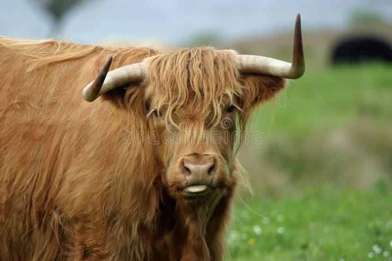 Vache des montagnes photographie stock libre de droits