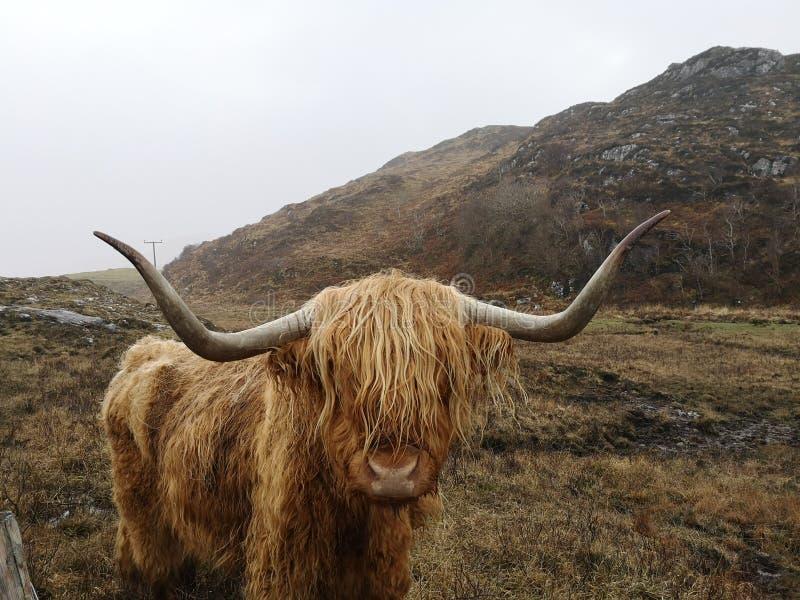 Vache des montagnes cornée image libre de droits