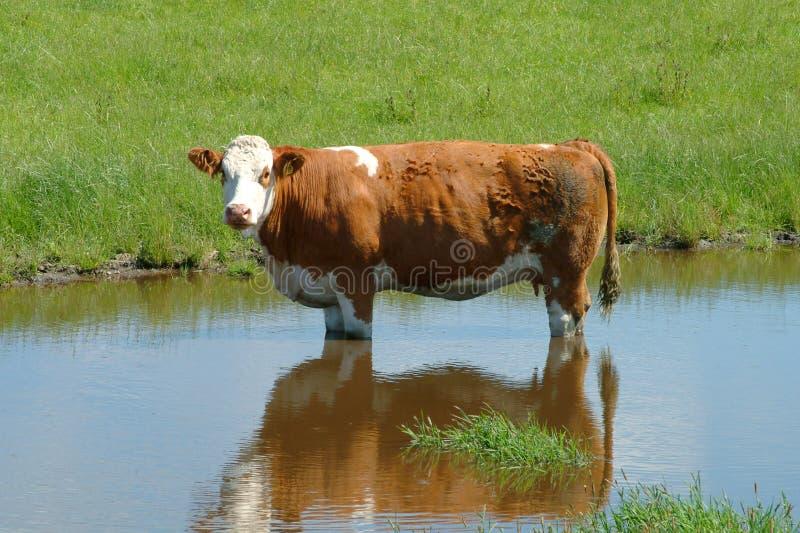 Vache des montagnes curieuse photo libre de droits