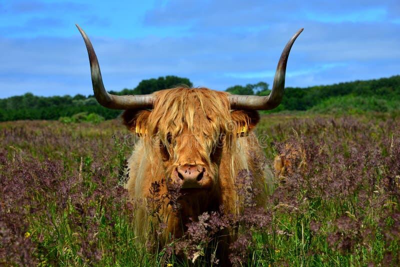 Vache des montagnes en nature néerlandaise images libres de droits