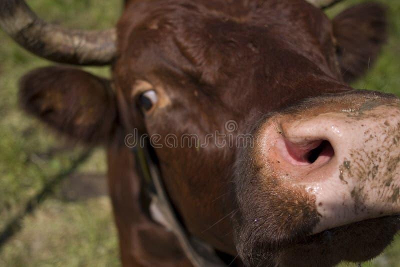 Vache du Valais photo stock