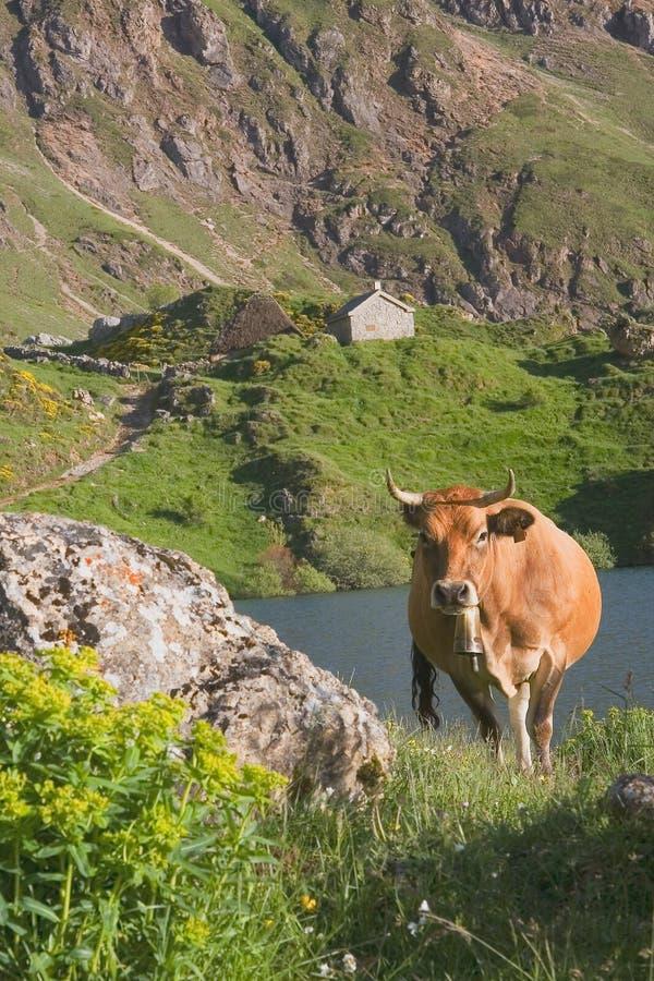 Vache en stationnement normal de Somiedo images libres de droits