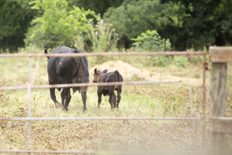 Vache et bébé noirs images stock