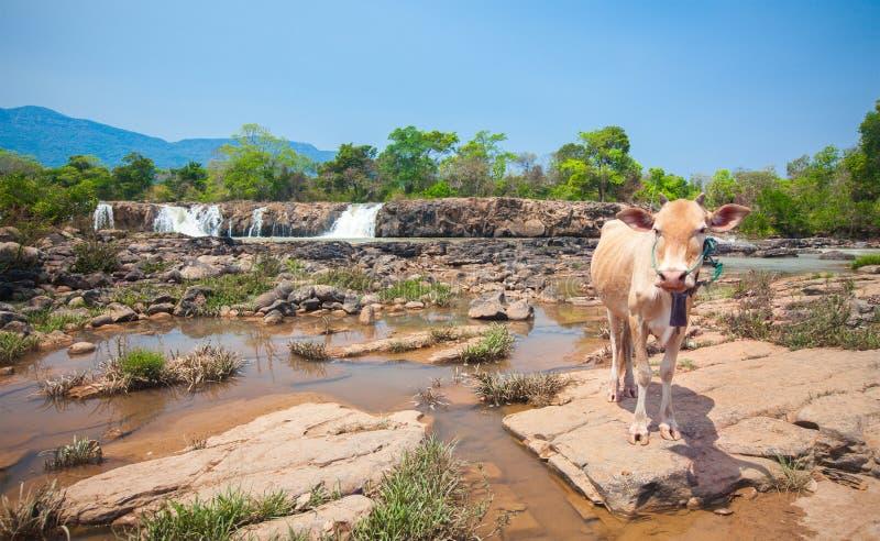 Vache et cascade au Laos images stock