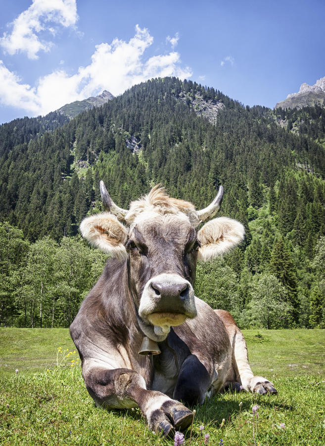 Vache gentille photo libre de droits
